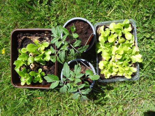 Some salad seedlings, and the tomato plants