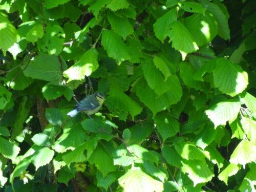 Blue tit in the hazelnut tree