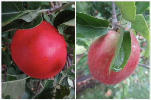Apples: Discovery (left), Laxton's Superb (right)