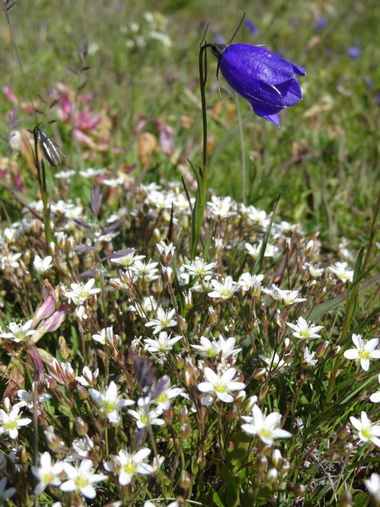 Tour du Mont Blanc - Meadow Flowers at Rifugio Elisabetta