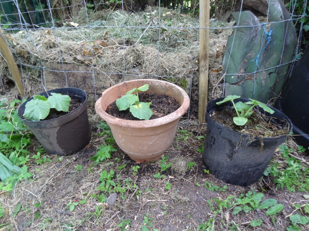Pumpkins in pots
